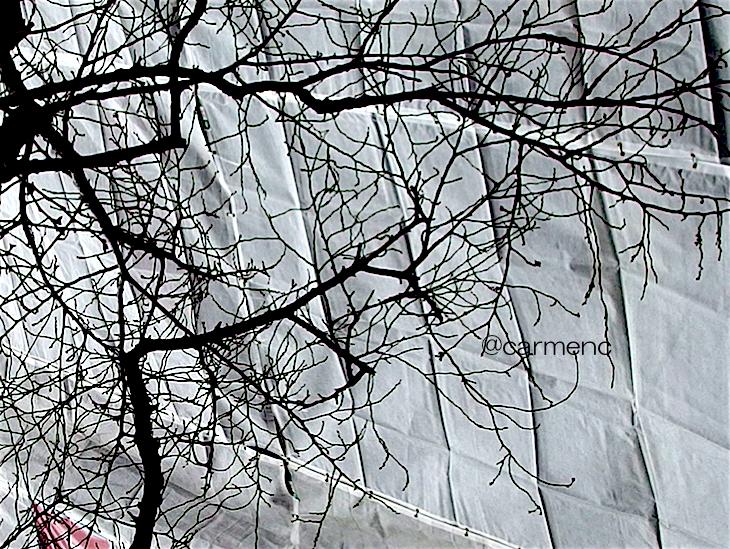 冬の桜と養生シート