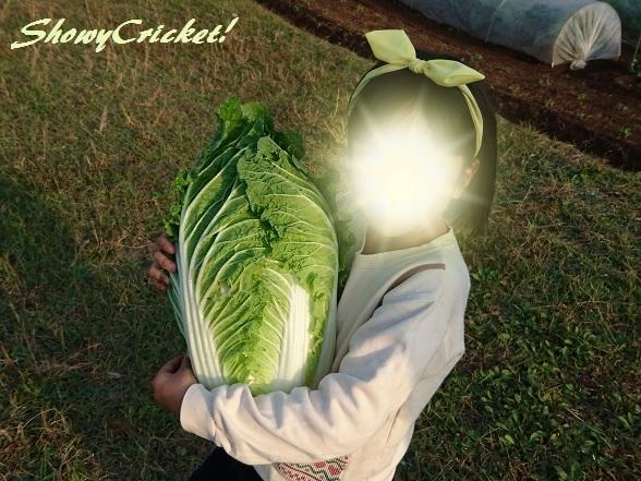 2018-11-11白菜 (15)