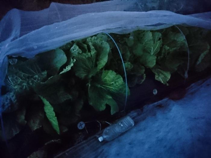 2018-12-10白菜 (3)