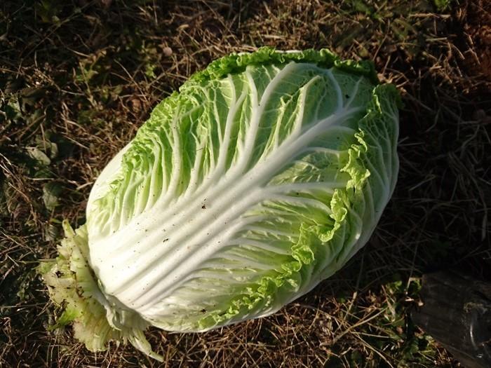 2018-12-17白菜 (6)