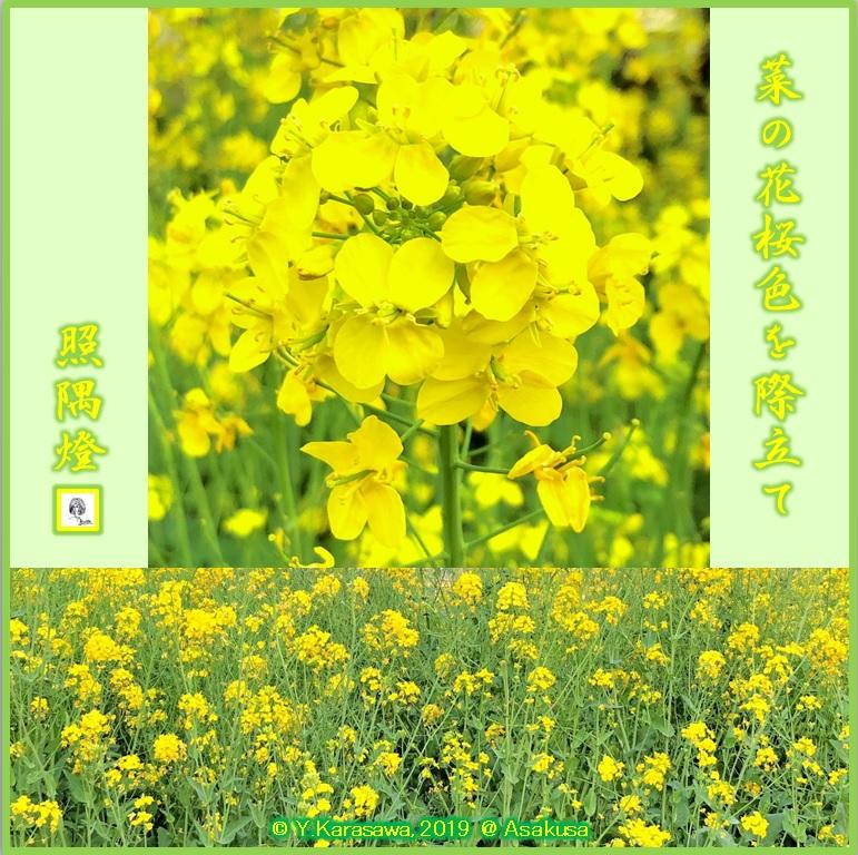 190416菜の花LRG