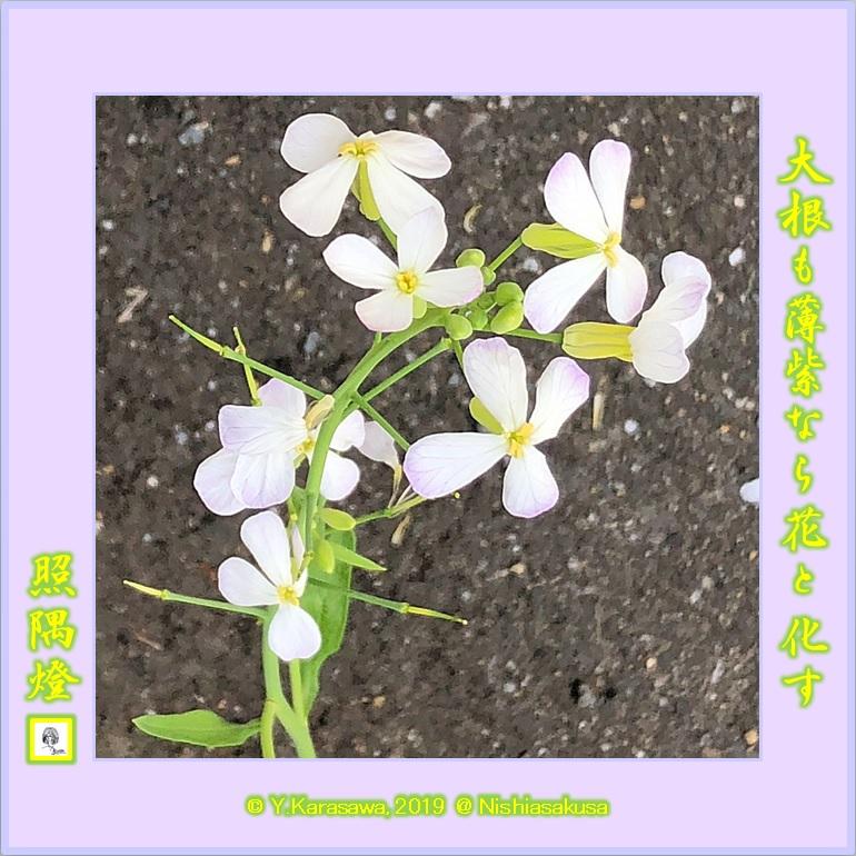 190504大根の花LRG