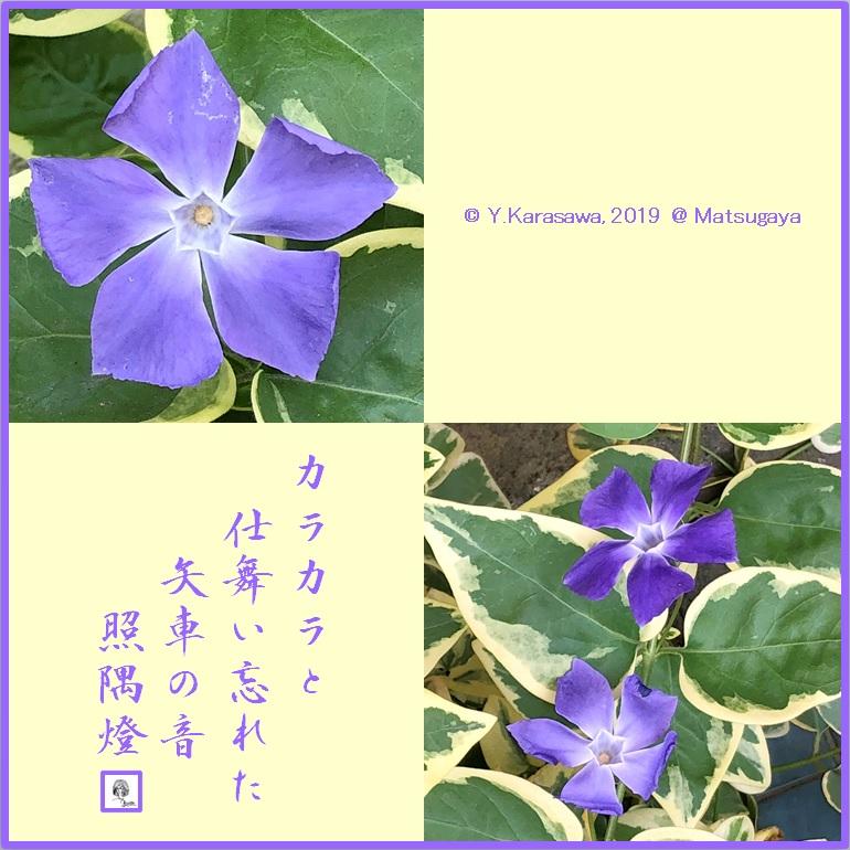 190509蔓日日草LRG