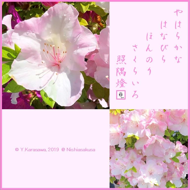 190514平戸躑躅桜色LRG