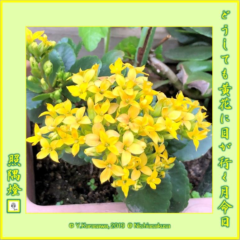 190531カランコエ黄色LRG