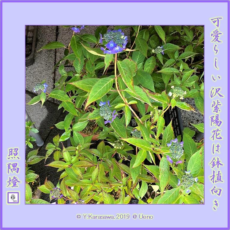 190601沢紫陽花LRG