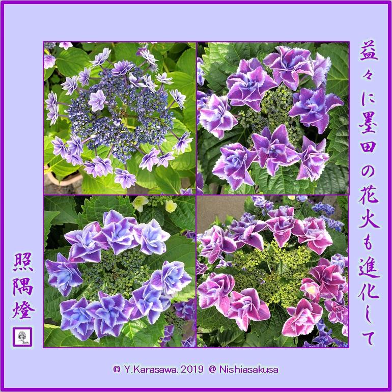 190628紫陽花墨田の花火LRG
