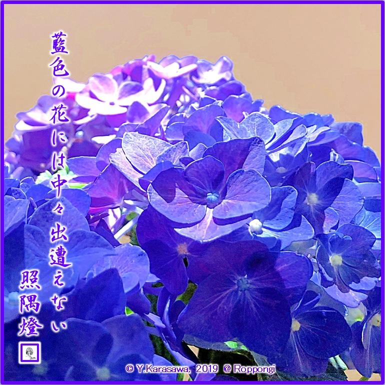 190709紫陽花藍色LRG