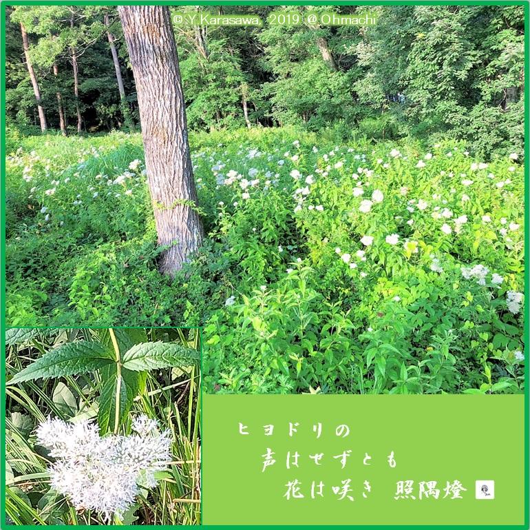 190821鵯花群生LRG