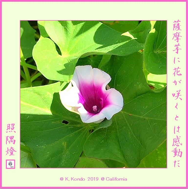 190901薩摩芋の花LRG