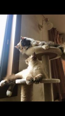 幸運を運ぶバーマン子猫 − シリウスくん -