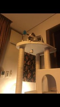 幸運を運ぶ猫バーマン -シリウスくん-