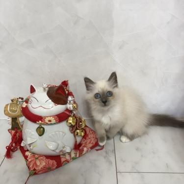 幸運を運ぶ🐱🐾バーマン子猫 ー ブルーポイント女の子ー