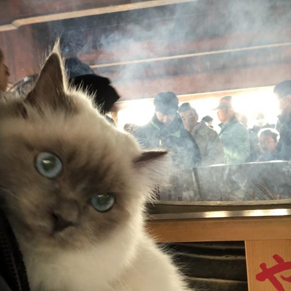 幸運を運ぶ猫🐱バーマン子猫🐾ポーシャ