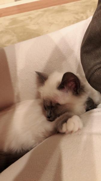 幸運を運ぶバーマン子猫🐱−ジャスミンちゃん-