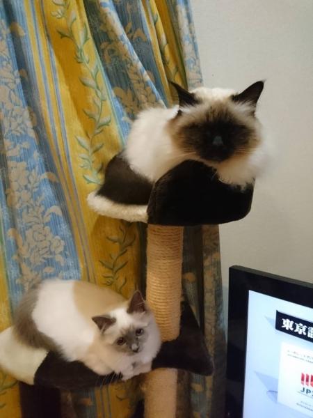 幸運を運ぶ猫バーマン🐱🐾ムサシくん&プラムちゃん