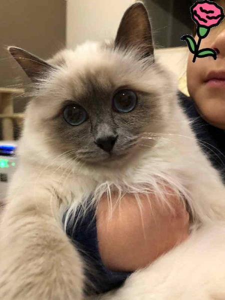 幸運を運ぶバーマン子猫 - ジャスミンちゃん -