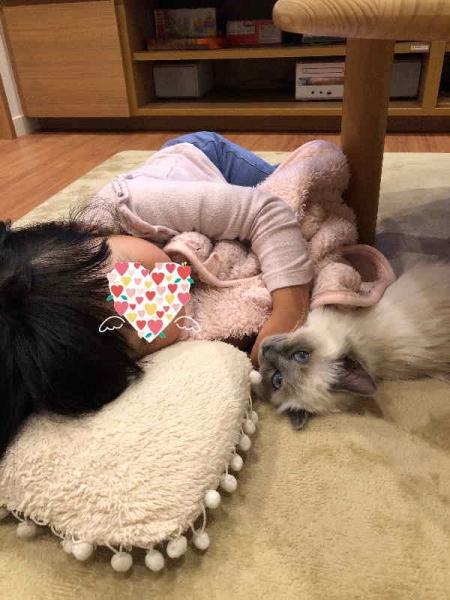 幸運を運ぶバーマン子猫-ジャスミンちゃん-