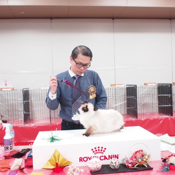 幸運を運ぶ🐈バーマン子猫-モカちゃん-