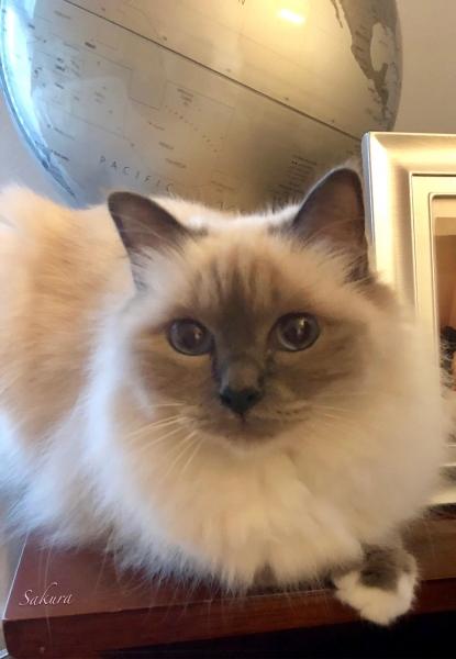 幸運を運ぶ猫バーマン - かわいいサクラちゃん -
