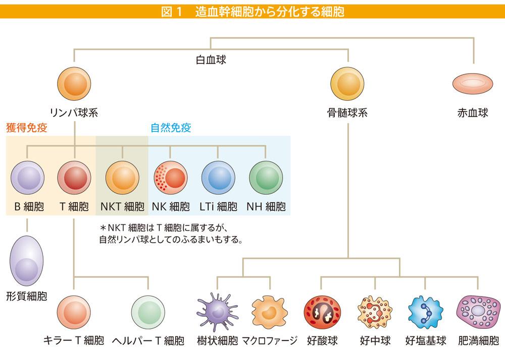 リンパ球が色々変化する STAP細胞があるとしたらこれか