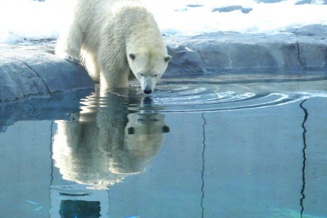 「白クマ」の毛は、実は白くない?-電子顕微鏡で見ると透明だった