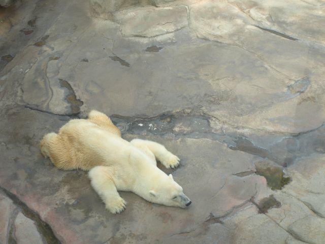 暑くて バテる 白クマ