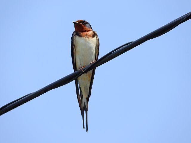 電線に 止まる 鳥