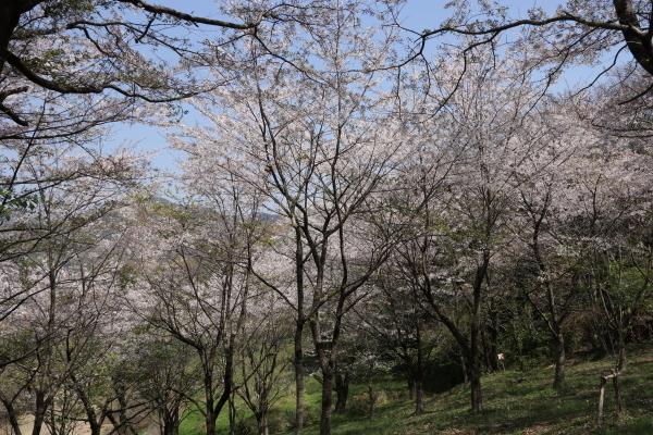 20190406Koboyama017.jpg