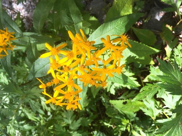 黄色い花 アキノキリンソウ