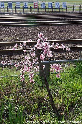 樽見鉄道・本巣駅、駅構内の桜の若木