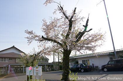樽見鉄道・本巣駅、桜の老木