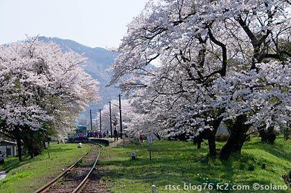 樽見鉄道、桜が満開の谷汲口駅に停車した列車