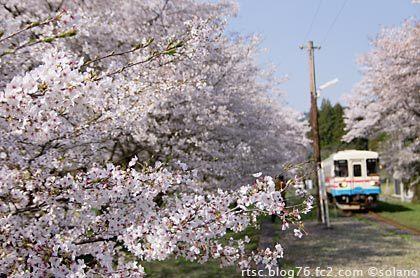樽見鉄道・桜が満開の谷汲口駅に入線するレールバス
