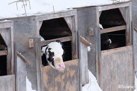 下白滝駅前、訪問者を見つめる子牛