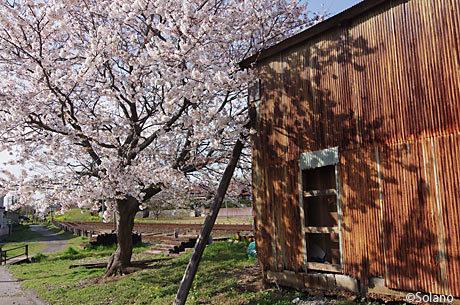 小湊鉄道・海土有木駅、トタンの貨物倉庫と満開の桜