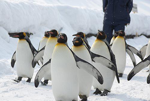 冬の旭山動物園、ペンギンの散歩