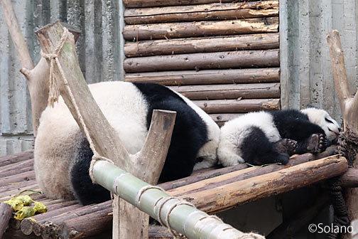 成都大熊猫繁育研究基地、母と赤ちゃんパンダ