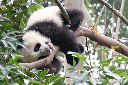 成都大熊猫繁育研究基地、子供パンダ