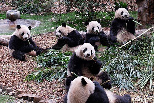 成都パンダ繁育研究基地、幼年パンダたち