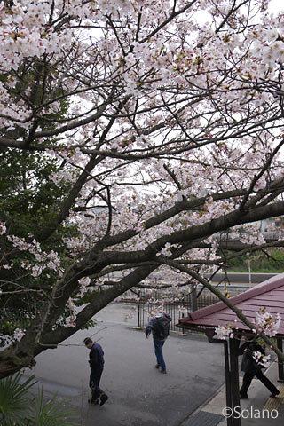 武豊線・亀崎駅と桜