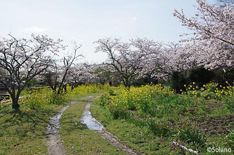 小湊鉄道・上総鶴舞駅、田舎風景のような駅構内の桜