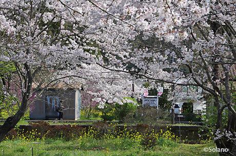 小湊鉄道・上総鶴舞駅、駅構内で咲き乱れる桜