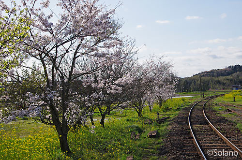小湊鉄道・上総鶴舞駅、レール沿いの桜並木