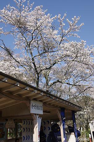 小港鉄道・上総大久保駅、駅名看板と桜
