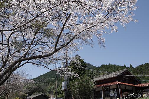 JR九州・肥薩線、真幸駅前の満開の桜
