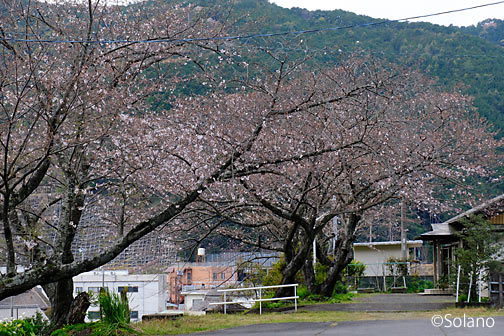 紀勢本線・大泊駅、駅前の桜並木