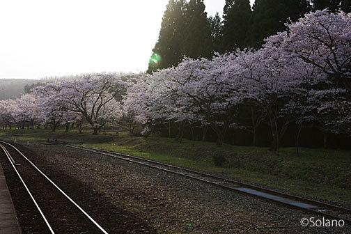 肥薩線・大畑駅、矢岳越えの列車で賑わった構内の桜並木