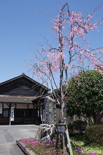 肥薩線・大隅横川駅、成人式に記念植樹された桜の若木