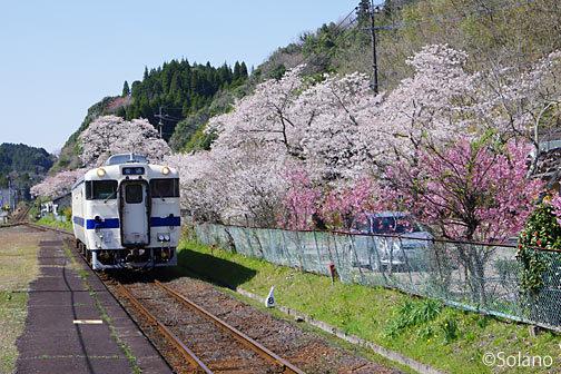 JR九州・肥薩線・大隅横川駅、レール沿いの桜並木と列車